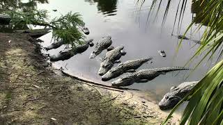 Alligator Swamp and Spoonbills Cam 05-26-2018 15:03:18 - 15:46:49