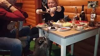 raccoon steals olives
