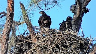 SWFL Eagles_E's Get Airtime, Stand On Top Rail, Spar With Wings/Beaks 02-19-18 | Kholo.pk