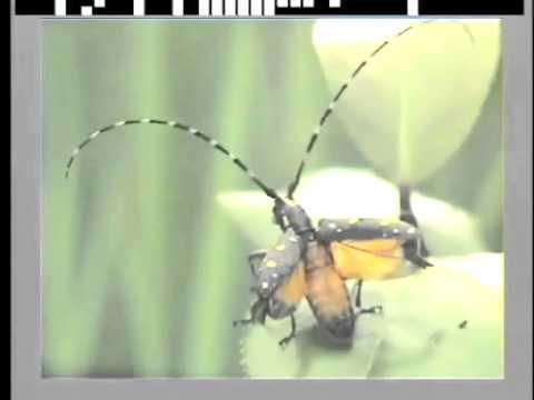 キボシカミキリの飛翔