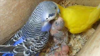 Casal de periquito australiano alimentando filhotes - (Full HD 1080p)