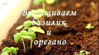 Смотреть онлайн Выращиваем базилик и орегано в домашних условиях