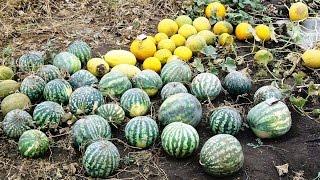 Арбузы. Самый легкий и эффективный способ выращивания в средней полосе.