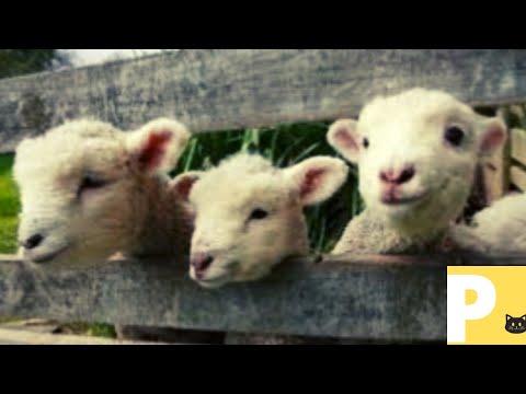 Som de cordeiro - animais - animal sound -V1k1-Yn4n-Mrcp-B7m1
