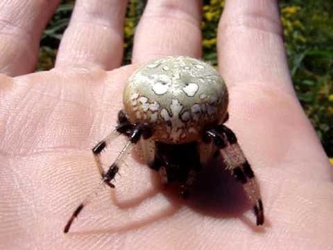 striped body and leggs Spider