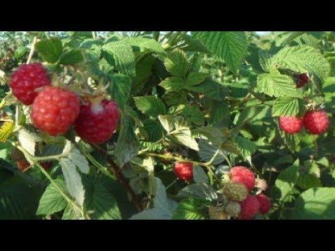 Распространенные сорта малины для Сибири