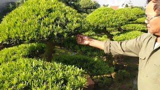 Gần Một Tỷ đôi Tùng La Hán Và Chủ Vườn Báo Giá Rất Nhiều Tp Trong  Vườn.