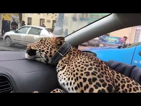 Leopard im Taxi