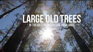 Large old trees in the Victorian Central Highlands