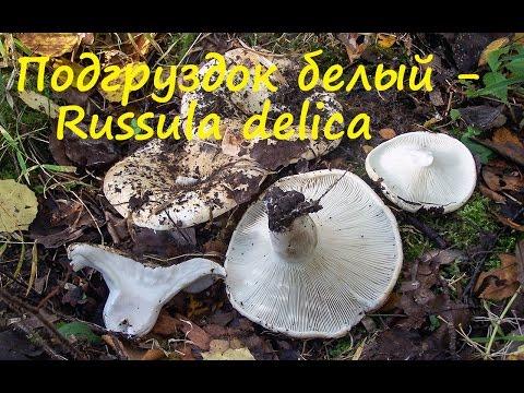 Подгруздок белый - ценный гриб!