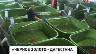 В Дагестане производят чёрную икру
