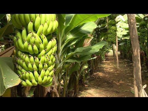 العرب اليوم - انطلاق فعاليات الدورة الثالثة لمهرجان الموز