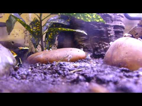 Poison Dart Frogs Eating Fruit Flies