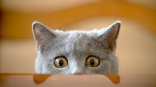 Приколы с котами. Смешная подборка #11 / 2015