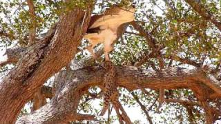 Martial Eagle with Serval Cat kill