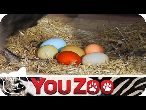 Bunte Hühnereier I Huhn gibt bunte Eier I Ostereier