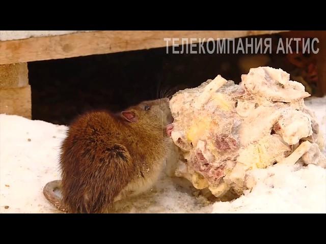 В тридцатом микрорайоне нашествие крыс