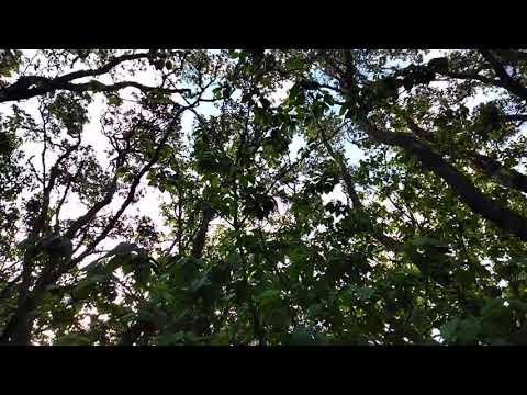 Mt Albert Forest birdsong 12.11.2019 (vid 1)