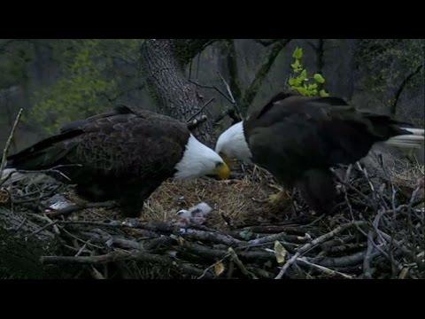 Second bald eagle hatches