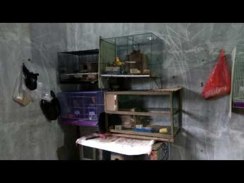 Video Ternak lovebird pemula