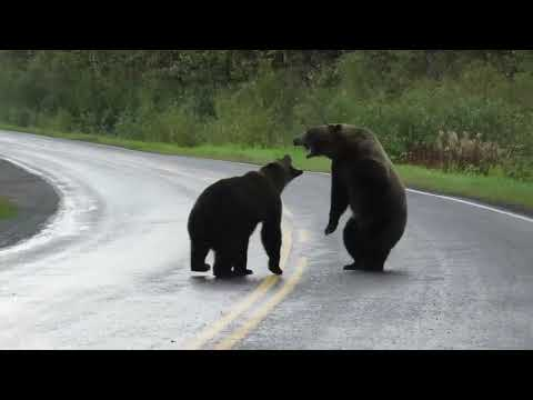 (13) Caught on camera: Grizzly bears fight in northern B.C. - YouTube