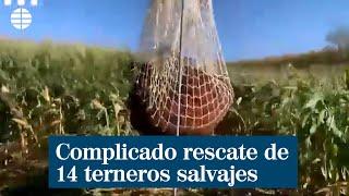 Complicado rescate de 14 terneros salvajes