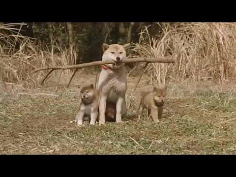 主人腿脚不好,狗狗就给他叼来一根拐杖,最后又救了主人一命!