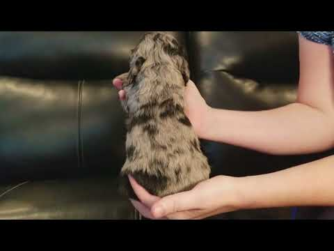 Champion Sapphire, Blue Merle with Ocean Blue Eye Female puppy for sale!