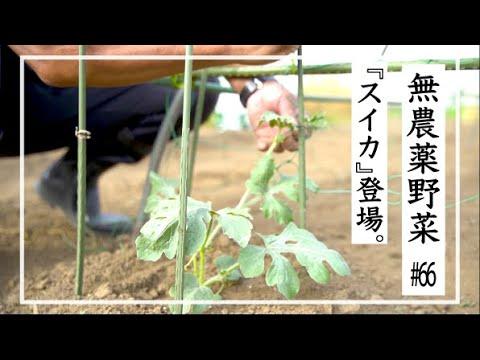 , title : '【無農薬野菜】無農薬野菜の暮らし |スイカの育て方 #66