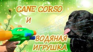 Собака Кане Корсо и водная игрушка.#canecorso