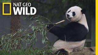 Giant Pandas 101 | Nat Geo Wild