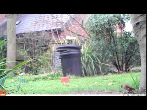 Reed bunting video