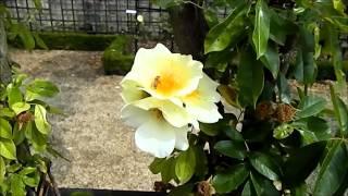 preview picture of video 'ROSERAIE DE L'HAY LES ROSES'