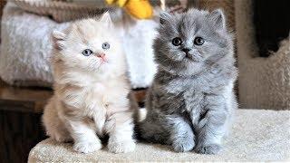 Милые смешные британские длинношерстые котята играют