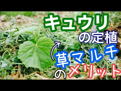 , title : '不耕起畝にキュウリの定植と草マルチのやり方・メリット解説【無農薬無肥料栽培】2020年4月26日