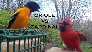 Baltimore Oriole Frightens Northern Cardinal!