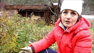 Посадка роз в октябре видео