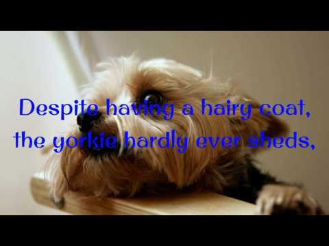 Yorkie Puppies Potty Trained 6 Tips To Housetraining A Yorkshire