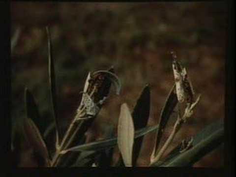 La presentazione su un fungo un parassita un fungo di esca