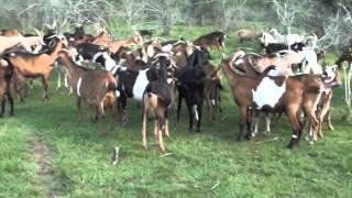 99 Tambo de cabras establecimiento Rincon de Natividad 1