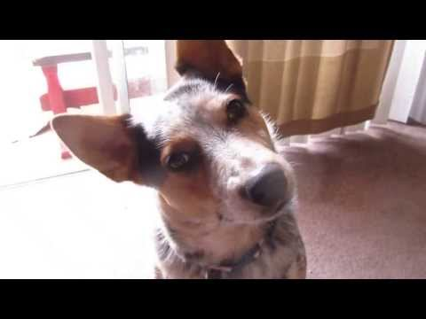 Chili The Blue Heeler MUST SEE Funny