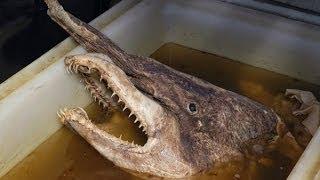 Рыбу-динозавра выловили в Черном море