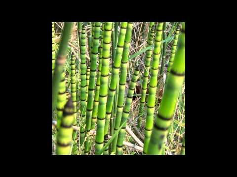 ХВОЩ  (EQUISETUM)  сем. Хвощевые (Equisetaceae)