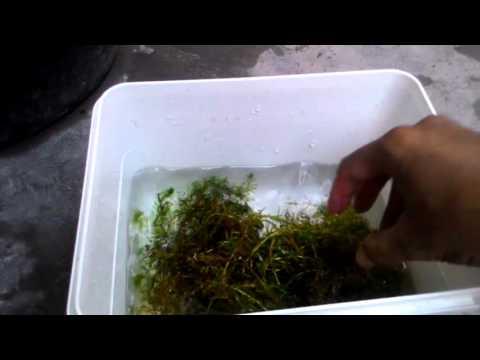 Video Cara Sederhana memijahkan guppy albino (How to breed albino guppy)