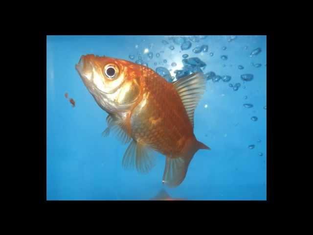 Scheda del Carassius Auratus (pesce rosso)