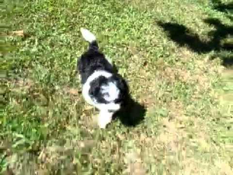 Oreo..Shih Poo Sweetheart!!