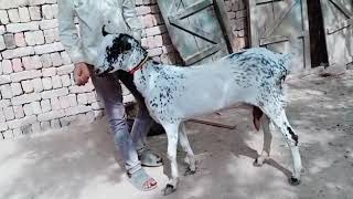 barbari goats for sale in pakistan - Kênh video giải trí