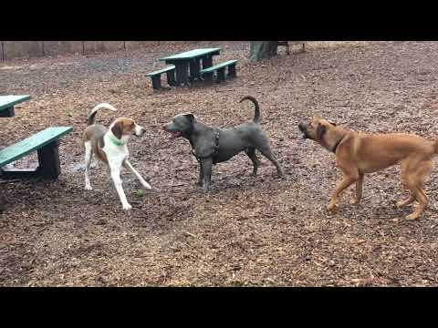 Rufus, an adopted Treeing Walker Coonhound & Beagle Mix in Hazlet, NJ