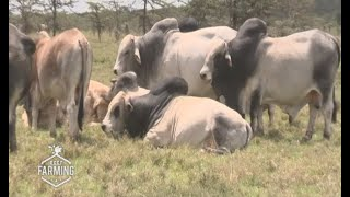 Beef farming and livestock management in Olpejeta conservancy - part 1