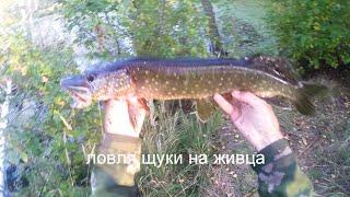 Ловля щуки на живца,видео rybachil.ru
